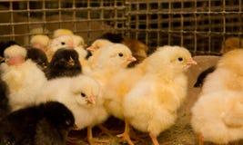Jeunes poulets dans une cage photographie stock libre de droits