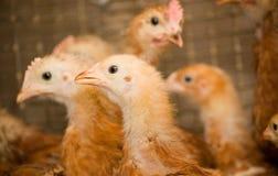 Jeunes poulets de Brown dans une cage photographie stock