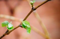 Jeunes pousses d'offre de vert et feuilles des raisins sur la vigne au printemps images stock