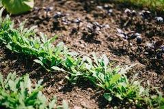 Jeunes pousses de Basil et d'arugula dans le jardin, épices croissantes Culture maraîchère organique de feuille photos stock