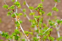 Jeunes pousses de fleur de groseille à maquereau au printemps photographie stock