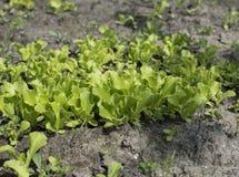 Jeunes pousses de laitue s'élevant dans le jardin Élevage de salade Images libres de droits