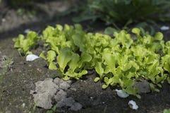 Jeunes pousses de laitue s'élevant dans le jardin Élevage de salade Images stock