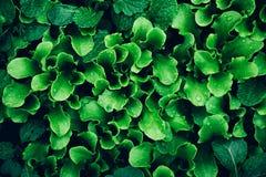 Jeunes pousses de salade de laitue de verdure s'élevant dans le jardin Nourriture saine image stock