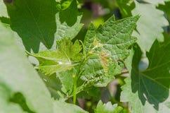 Jeunes pousses de vert sur les branches des raisins image libre de droits