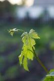 Jeunes pousses des raisins dans le jardin Images stock