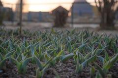 Jeunes pousses des tulipes photographie stock libre de droits