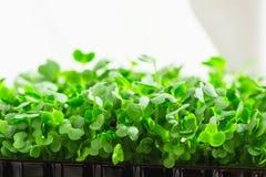 Jeunes pousses fraîches de l'eau mise en pot Cress Growing Indoors sur le Fenêtre-filon-couche de cuisine Jardinage blanc de ride photos libres de droits