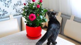 Jeunes promenades de chat grises au sujet des fleurs mises en pot clips vidéos