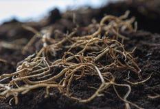 Jeunes racines de fleur sur le fond sur terre images stock