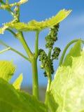 Jeunes raisins Photo libre de droits