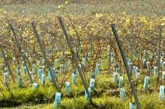 Jeunes rangées ensoleillées de vigne Image libre de droits