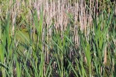 Jeunes roseaux dans le marais Image libre de droits