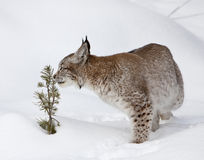 jeunes sentants d'arbre de pin canadien de lynx Images stock