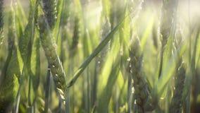 Jeunes usines de blé ondulant dans le vent banque de vidéos