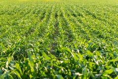 Jeunes usines de maïs dans un domaine agricole Photo stock