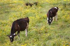 Jeunes vaches enregistrées frôlant dans la campagne azores Portug Images libres de droits