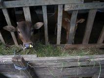 Jeunes vaches tenant et mangeant l'herbe de nourriture dans le pré Photos libres de droits