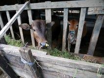 Jeunes vaches tenant et mangeant l'herbe de nourriture dans le pré Images stock