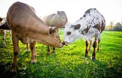 Jeunes vaches touchant des nez Image libre de droits