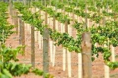 Jeunes vignes Photos stock