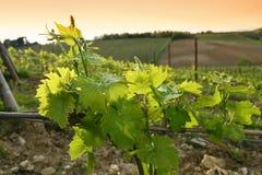 Jeunes vignobles verts dans la région de chianti près de Mercatale Val di Pesa photos libres de droits