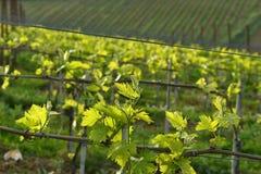 Jeunes vignobles verts dans la r?gion de chianti pr?s de Mercatale Val di Pesa photos libres de droits