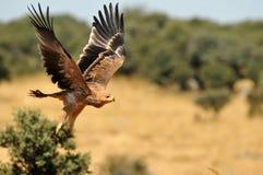 jeunes volants d'aigle impérial images libres de droits