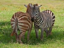 Jeunes zèbres sur le masai mara Photos libres de droits