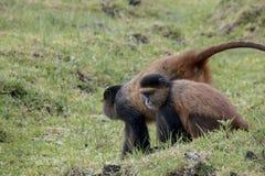 Jeunesse de singe et mère d'or mises en danger, PA nationale de volcans Image stock