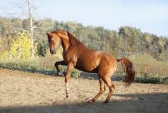 Jeux arabes de cheval de châtaigne dans le pré Photographie stock
