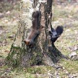Jeux d'écureuil Photo libre de droits