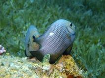 Jeux d'amour de petits poissons de corail Photos stock
