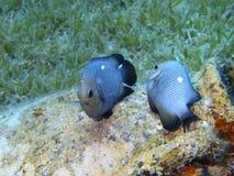 Jeux d'amour de petits poissons de corail Images stock