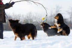 Jeux d'homme avec des chiens dans la neige Image stock