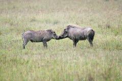 Jeux de accouplement d'un mâle et d'une phacochère femelle Photos libres de droits
