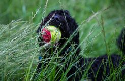 Jeux de chien avec sa boule Photo stock