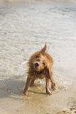Jeux de chien sur la plage Image stock