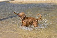 Jeux de chien sur la plage Images stock