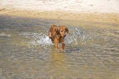 Jeux de chien sur la plage Photographie stock
