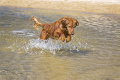 Jeux de chien sur la plage Photo stock