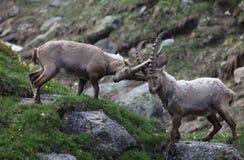 Jeux de chèvre de roche Photos libres de droits