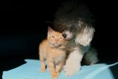 Jeux entre les amis de chiots, le chien blanc et le chat rouge Images stock