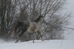 Jeux gris d'étalon sur la corde dans les chutes de neige en hiver Un cheval galope vers le haut d'une colline dans la neige profo images libres de droits