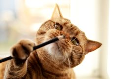 Jeux préférés de chat britannique avec le crayon photos stock