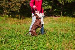 Jeux stafordshirsky de terrier de chien avec le propriétaire Photos libres de droits