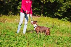 Jeux stafordshirsky de terrier de chien avec le propriétaire Photo libre de droits