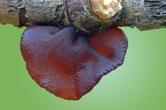 Jew's ear. Auricularia auricula-judae, known as the Jew's ear, jelly ear is a species of edible Auriculariales fungus found worldwide royalty free stock images