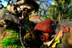 Jew's ear (Auricularia auricula-judae) fungus Royalty Free Stock Photos