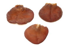 Jew's Ear Fungus Stock Images